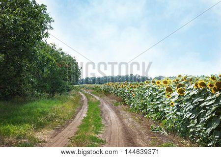 Road in sunflower field