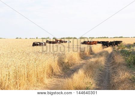 Brindled cows on a field