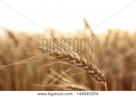 Yellow wheat spike in field, close up