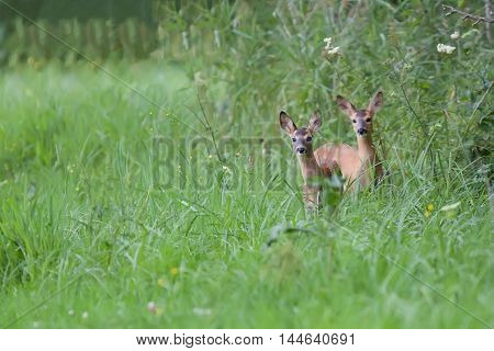 Two young roe deers in the forest