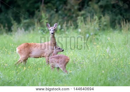 Roe-deer with baby in a clearing in the wild