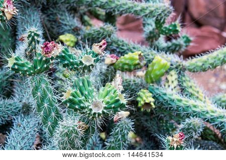 Close up of a Buckhorn Cholla cactus with spent blossoms