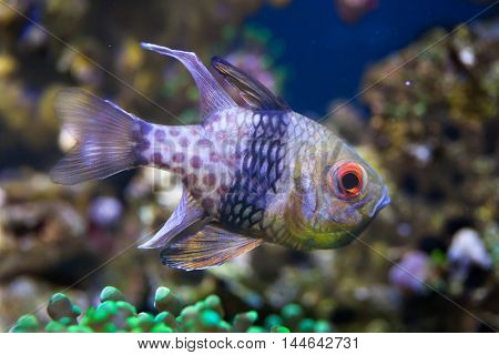 Pajama cardinalfish (Sphaeramia nematoptera), also known as the spotted cardinalfish. Sea life.