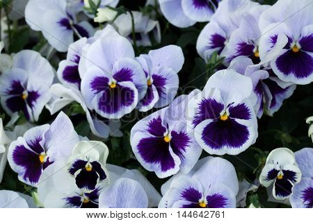 Garden pansy (Viola tricolor var. hortensis). Flowering plant.