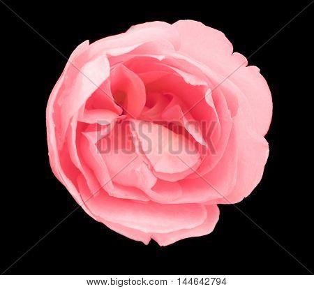 Beautiful rose bud on black background