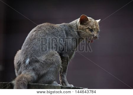 Jaguarundi (Puma yagouaroundi), also known as the eyra cat. Wildlife animal.