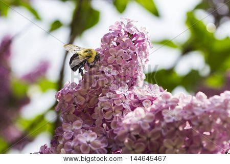 Bumblebee working on pollinating a lilac flower