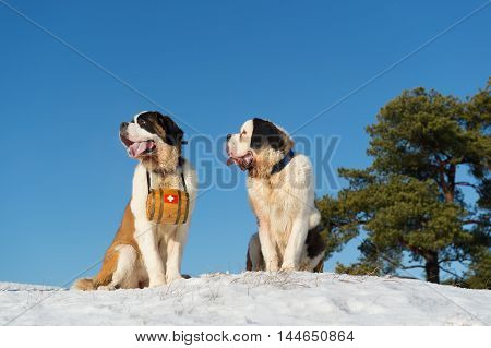 Rescue dogs with wooden barrel in snow landscape