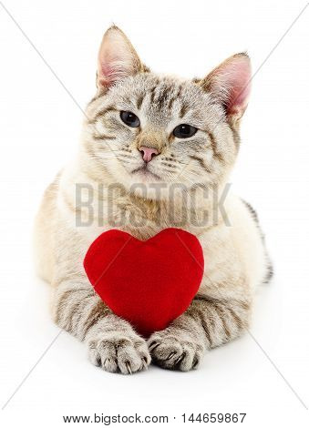 Cat with red Valentine`s heart on white background.
