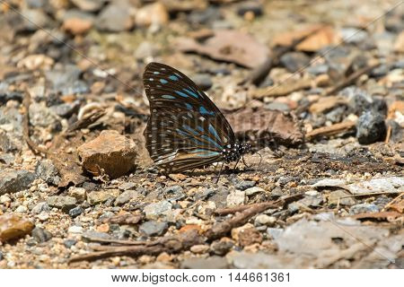 Dark Blue Tiger, Danaid butterfly with blue marks on wings on the ground in Thailand, Asia, selective focus (Tirumala septentrionis)