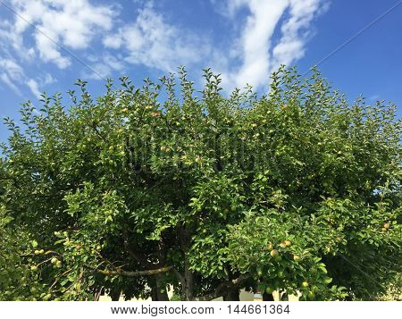 Top part of homegrown organic apple tree with many fruit against blue sky during Autumn in Austria, Europe