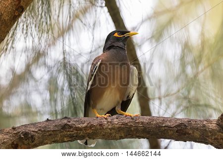 Common myna, Indian mynah bird with yellow eye patch perching on tree branch during sunset in Thailand (Acridotheres tristis)