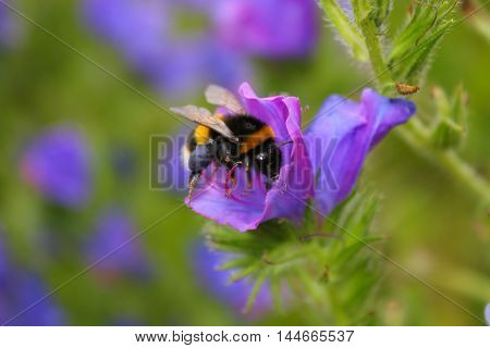 A White Tailed Bumblebee with full black pollen baskets
