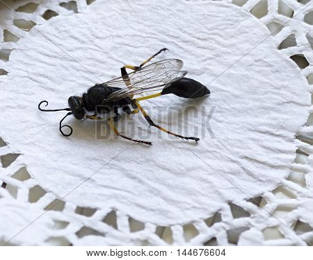 close-up of a wasp with a thin waist and folded wings