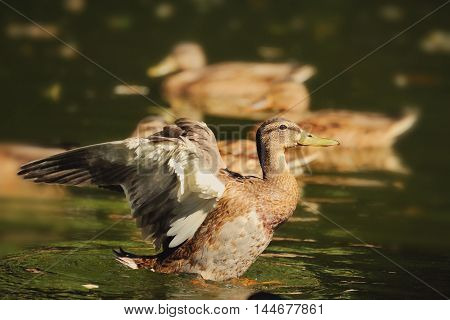 Wild Duck Start To Fly On The Pond.