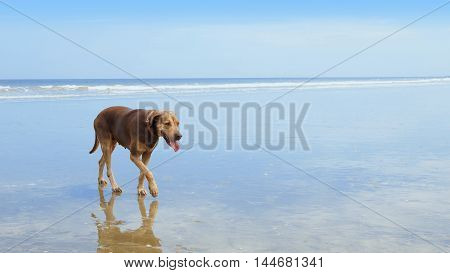 Dog walking on the wet beach with the sea and blue sky background - Puerto Lopez - Manabi - Ecuador