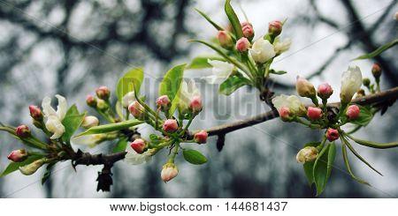 Blossom Apple Tree. Spribg Bloom. Vintage Effect.