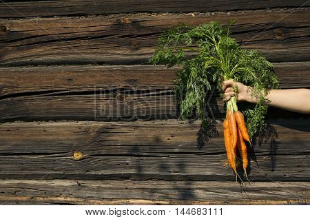 Hand holding carrots with a green tops in a beam on a wooden background