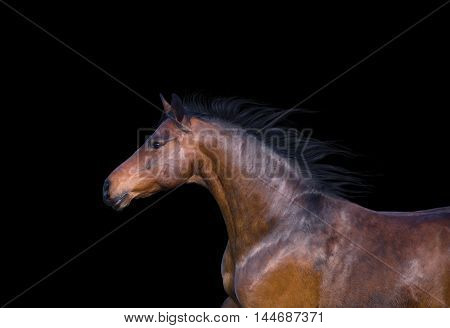 Portrait of the light brown horse on the black background