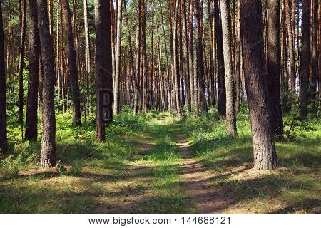 pine forest with footpath in the center of picture