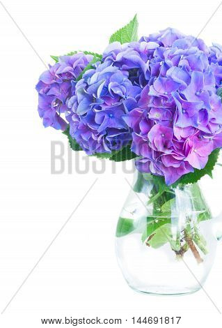 blue and violet hortensia flowers in glass vase isolated on white background