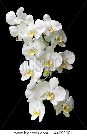 large white orchid branch isolated on black background close up. vertical photo.