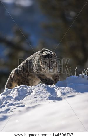 Portrait Of A Snow Leopard. He Is Getting Ready For Hunting.