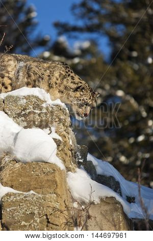 Close Frame Of Snow Leopard. He Is Looking Angrily.