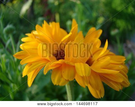 calendula orange flower is used in folk medicine
