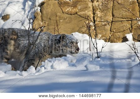 He is climbing to the rock. Snow leopard is walking down to the rock. Snow leopard is looking for prey on snowy rock. He is looking forward.