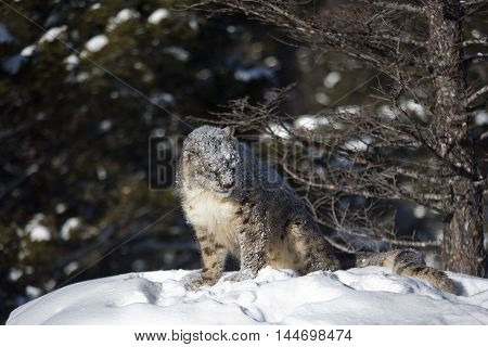 Close frame of snow leopard. He has bloody snout. He is looking angrily. He is standing on snowy rock and looking towards camera strangely.