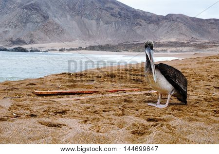Close-up of a pelican at the beach in the National Park Pan de Azúcar close to Chañaral in Chile, South America