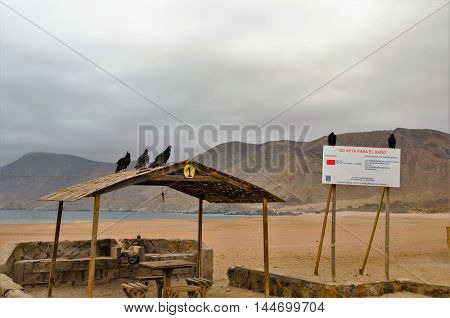 Three vultures sitting on the roof of a hut and two others on a sign at the beach in the National Park Pan de Azucar close to Chanaral in Chile, South America