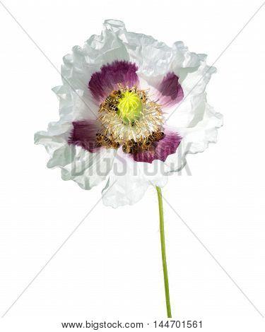 Poppy flower with bees isolated on white background.