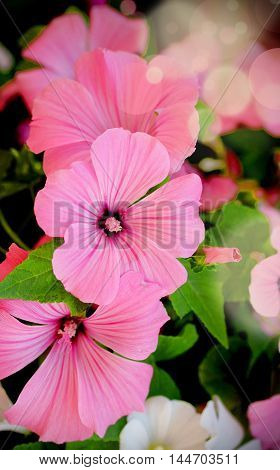 Beautiful floral vertical background. Pink Lavatera flower selective focus