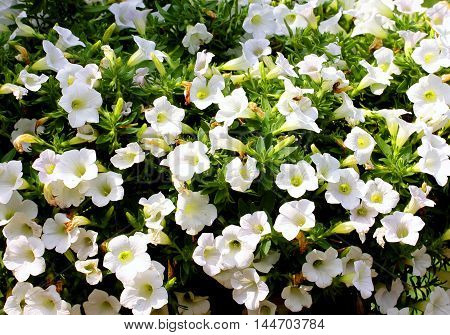White petunia, many small beautiful white flowers