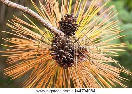 pine cones open on tree among long prickly orange and yellow white pine tree needles in fall scene