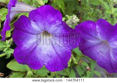 purple petunia garden blooms dancing in the flower garden closeup