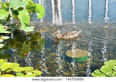 A female mallard duck on the water