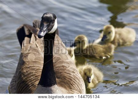 Cute family of the Canada geese are swimming together