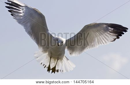 Beautiful isolated image with a gull flying in the blue sky