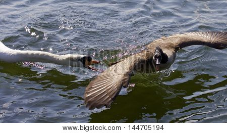 Amazing image with an angry swan attacking a Canada goose