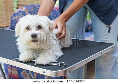 Preparation of a white Maltese dog for grooming. The dog is lying on the grooming table and is looking at the camera. Scissors are lying on the table.