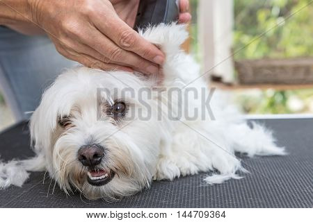 Grooming the ear of white Maltese dog by electric razor. The dog is lying on the grooming table and is looking at the camera.