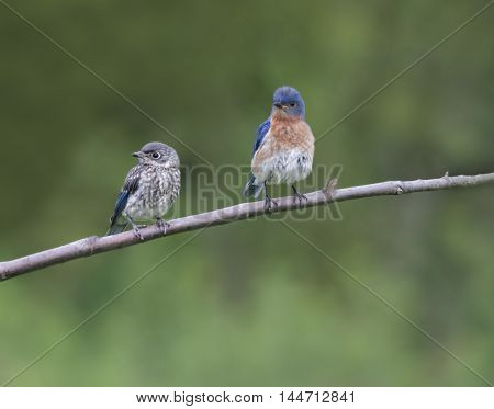 Male Eastern Bluebird Dad and Fledgling Perched Together