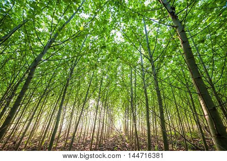 Young Green Forest