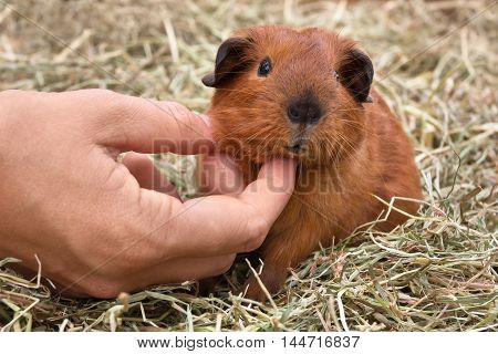 hands stroking young guinea pig sitting on the hay