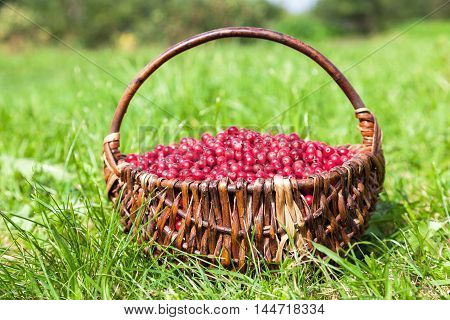 Wicker basket full of fresh ecological red cowberry on green grass