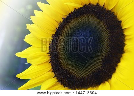 A closeup view of a vivid sunflower in full bloom.