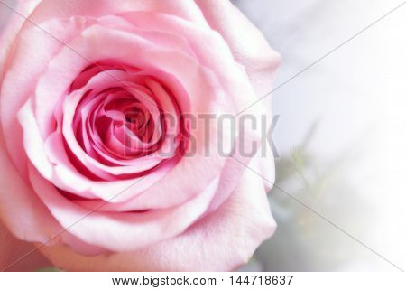 A close view of a long stem pink rose with a white gradual fade to the right side of the frame.